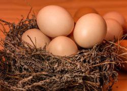 Birds nest full of eggs